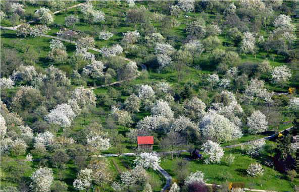 Streuobstwiese mit blühenden Obstbäumen